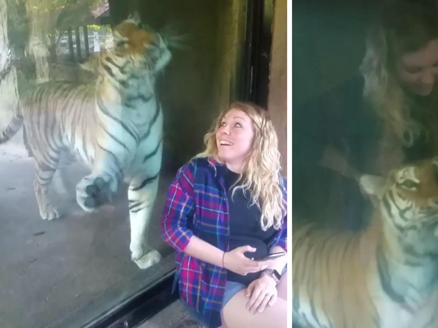 Tigre se acurruca en embarazada.