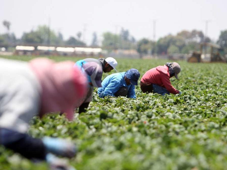 La falta de trabajadores agrícolas puede generar en millonarias perdidas para el sector