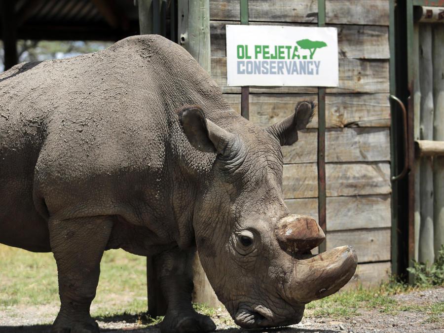 En esta imagen tomada el 3 de mayo de 2017, Sudan, el último macho de rinoceronte blanco del norte, se encuentra en la reserva Ol Pejeta del condado de Laikipia, en Kenia.
