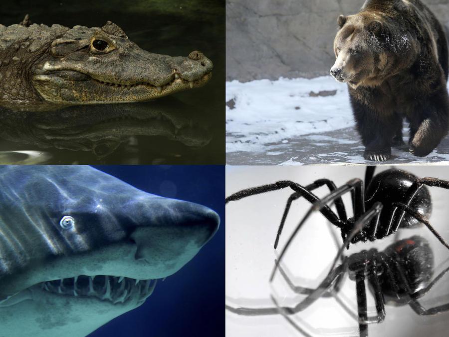 Fotos de archivo de un caimán, un oso, un tiburón y una araña viuda negra (de izquierda a derecha, de arriba a abajo).