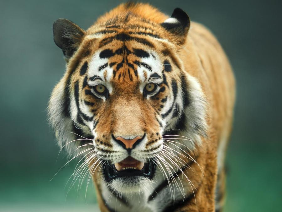Tigre caminando