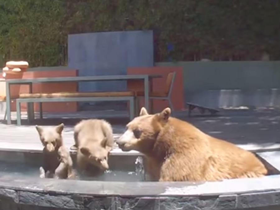 Osos en piscina
