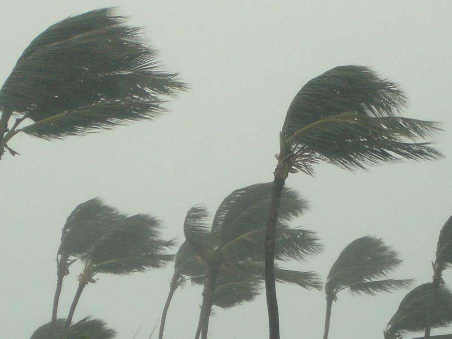 Palmeras azotadas por el viento