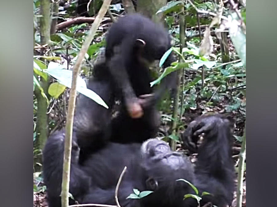 Chimpancés jugando