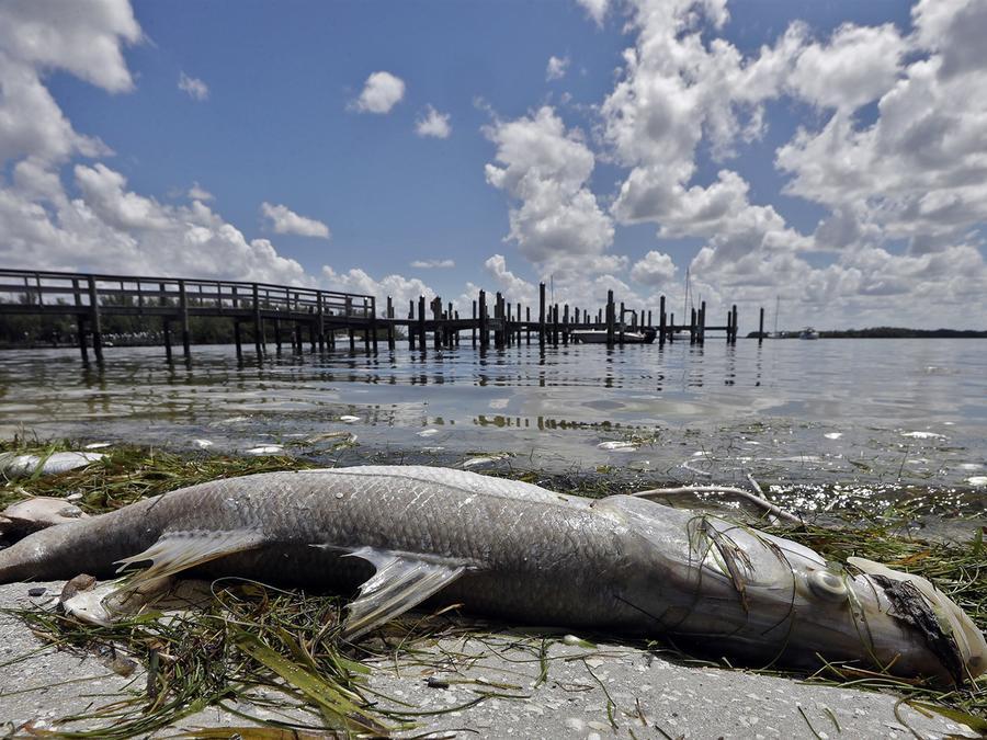 Pez muerto por la marea roja en Bradenton Beach, 6 de agosto de 2018/AP