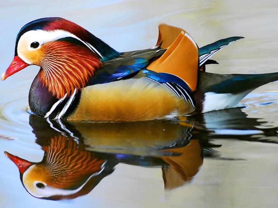Pato mandarín en el agua