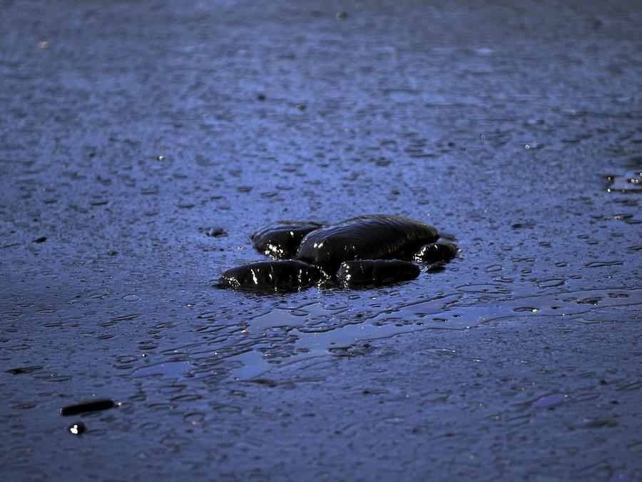 En esta fotografía de archivo se ve una tortuga marina muerta, flotando en aguas contaminadas por un derrame petrolero