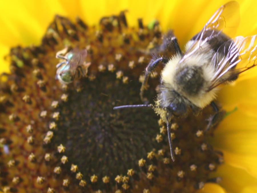 Una pequeña abeja del sudor, junto a un abejorro, en una imagen de archivo.