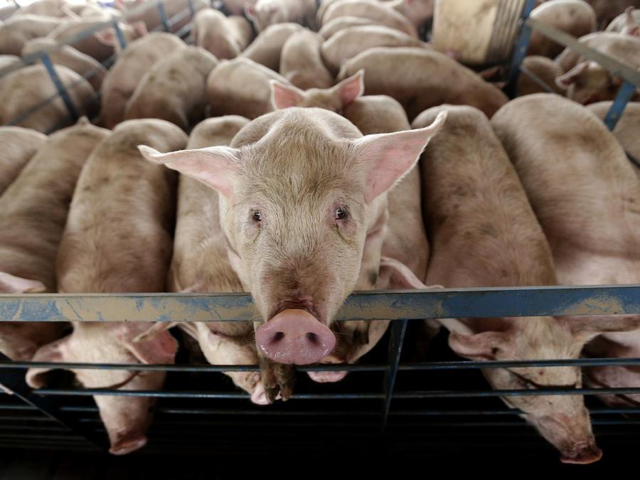 Fotografía de archivo de una granja de cerdos