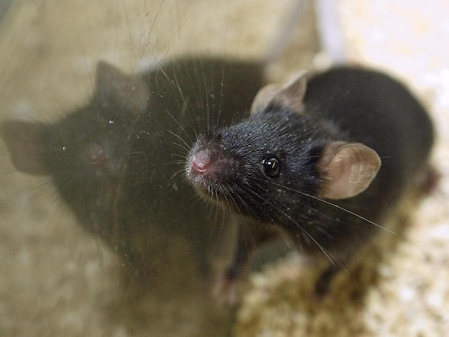 Una rata de laboratorio en uan foto de archivo.