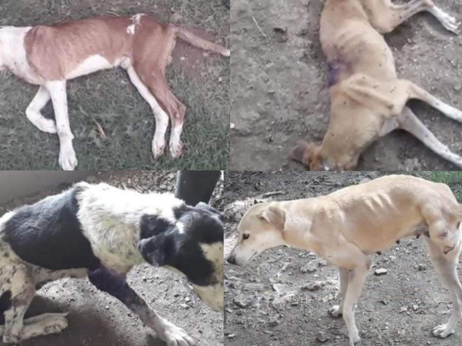 Perros desnutridos