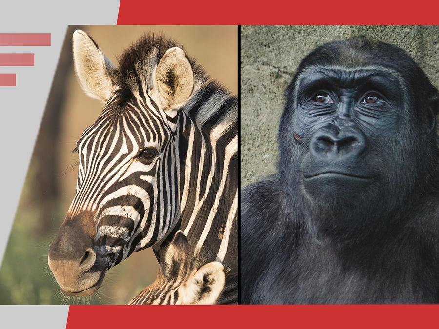 Cebra y chimpancé