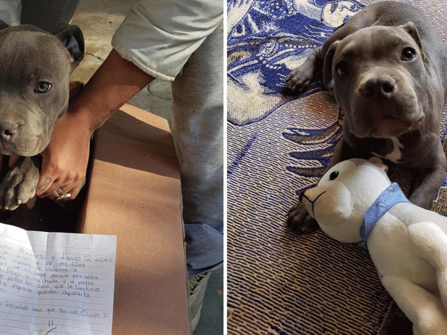 Perro pitbull cachorro en adopción
