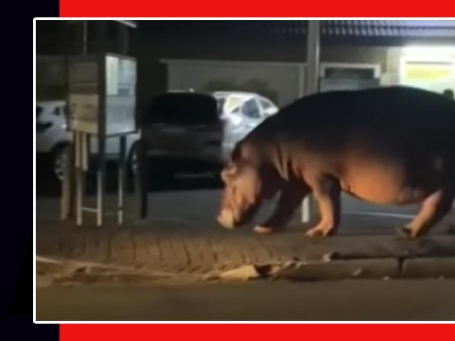 Hipopótamo calles Suráfrica