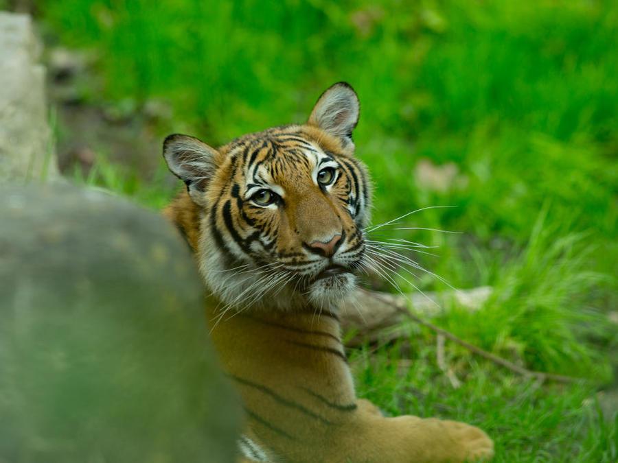 El animal fue contagiado de COVID-19 por un empleado asintomático, dijo el zoológico del Bronx, en Nueva York.