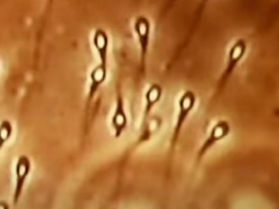 Semen coronavirus
