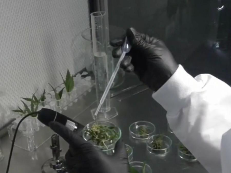 Cannabis COVID-19