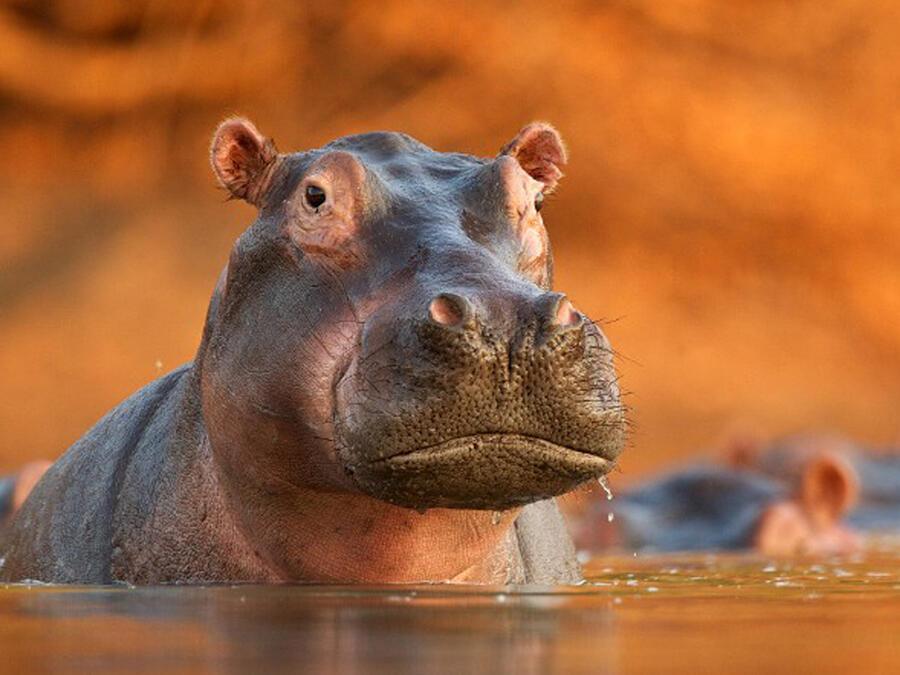 Hipopótamos de Pablo Escobar