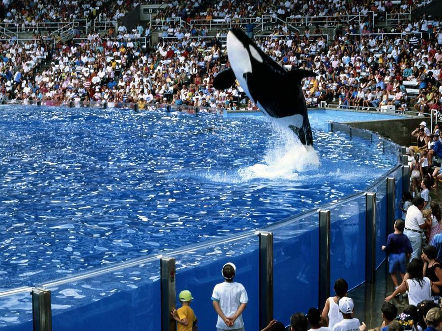 Orca saltando en Sea World