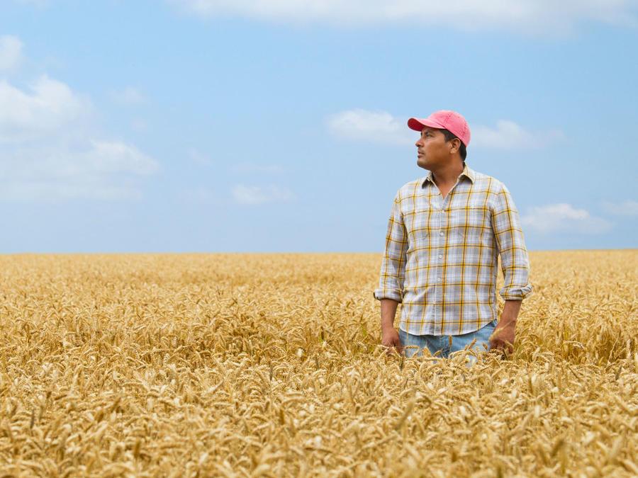 Granjero hispano en campo de trigo