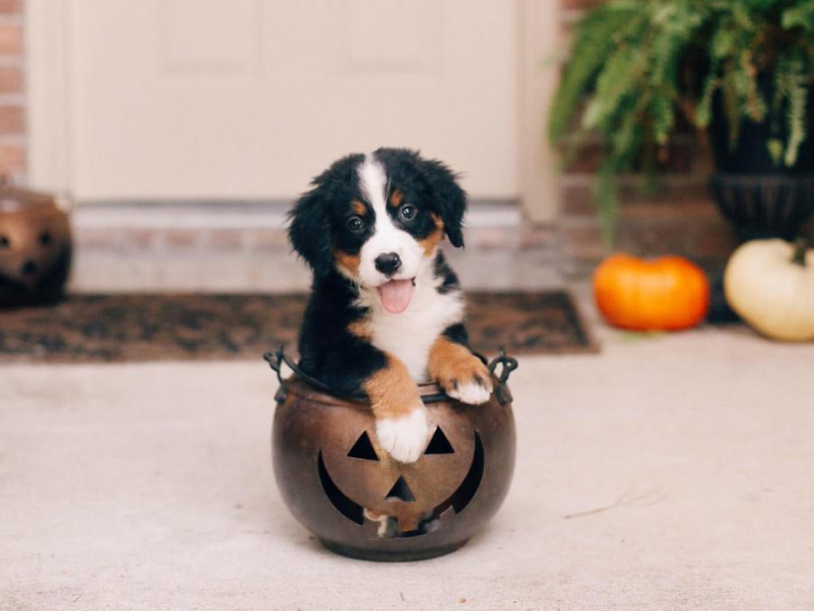 Perro dentro de una calabaza de Halloween