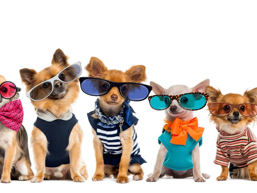 Perros con ropa y lentes