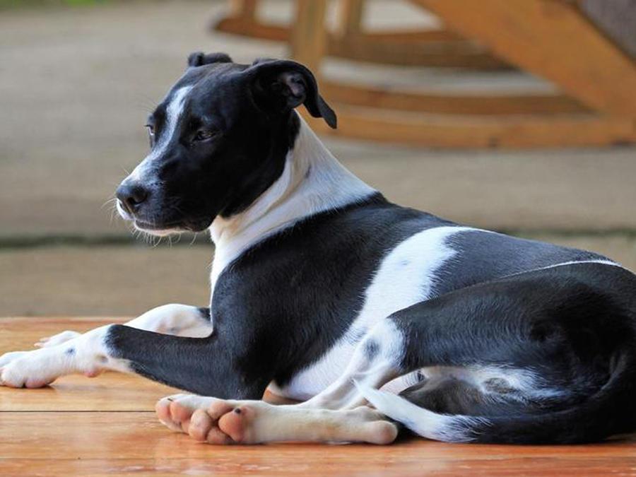 Perro de raza mixta