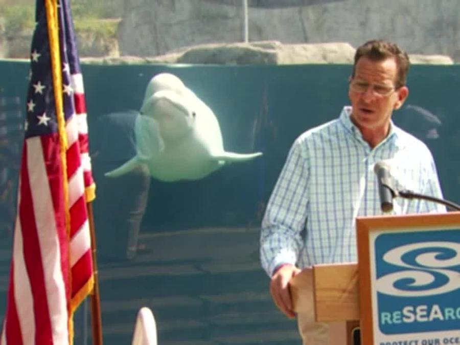 La ballena beluga Juno acapara la atención durante discurso de gobernador de Connecticut