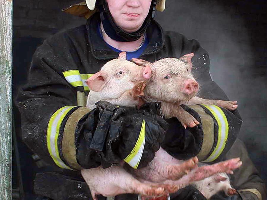 Salvaron a lechones del fuego y luego se los comieron
