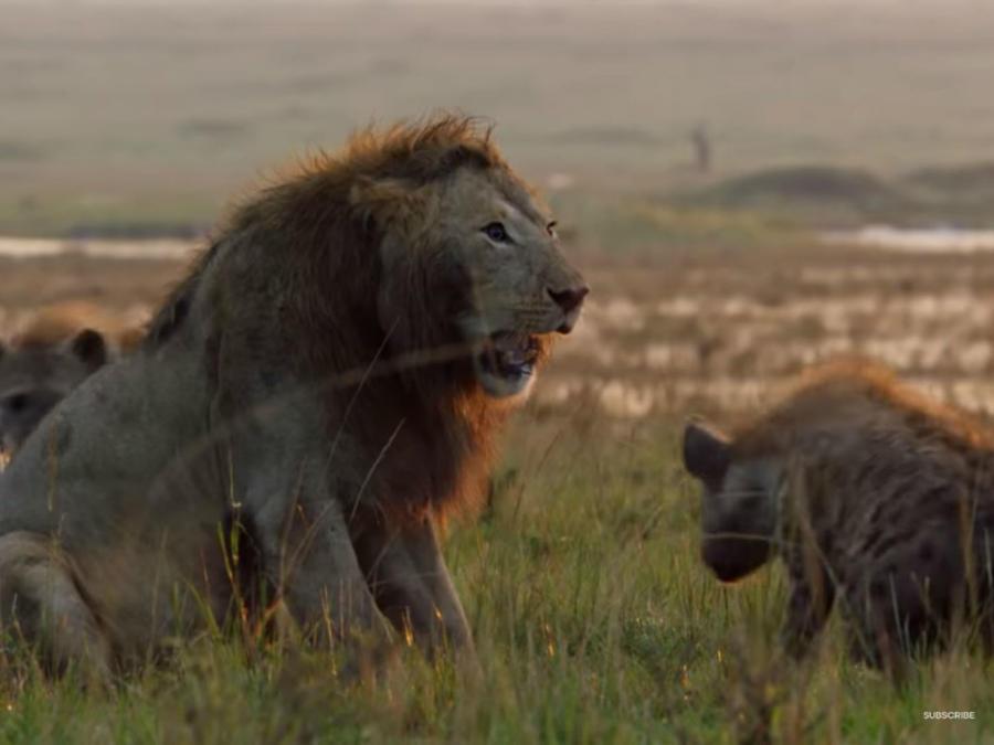 León contra hienas