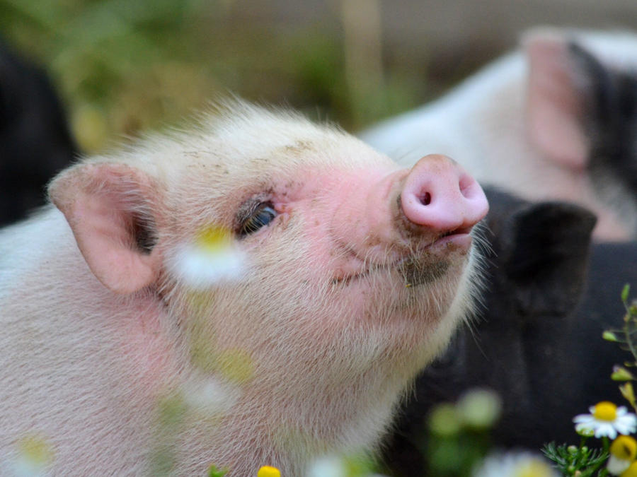 Cerdos