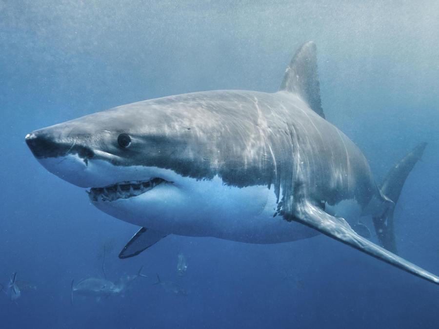 tiburon nadando