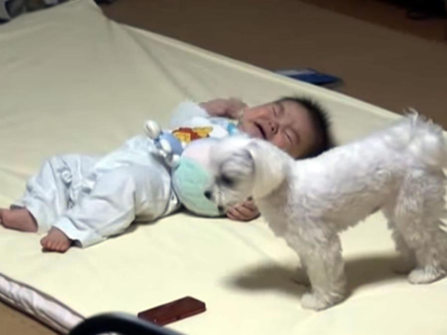 Un perro calma el llanto de un bebé con sus aullidos (VIDEO)