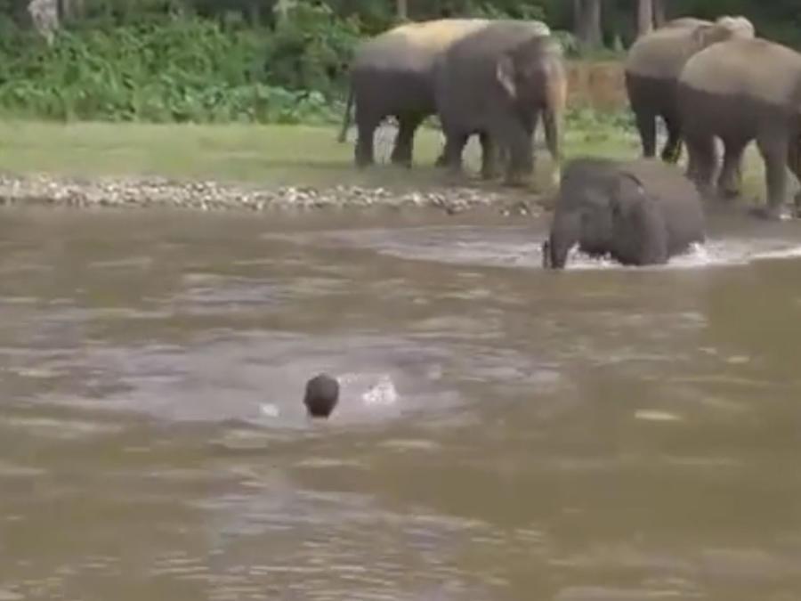Un elefante se lanza al río y rescata a su cuidador (VIDEO)