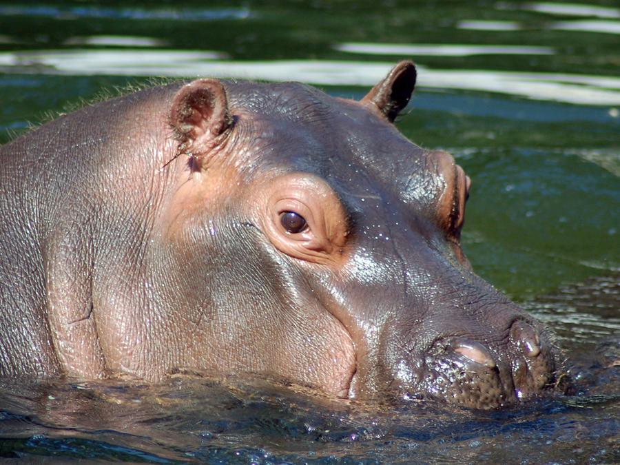 Matan a un hipopótamo en El Salvador