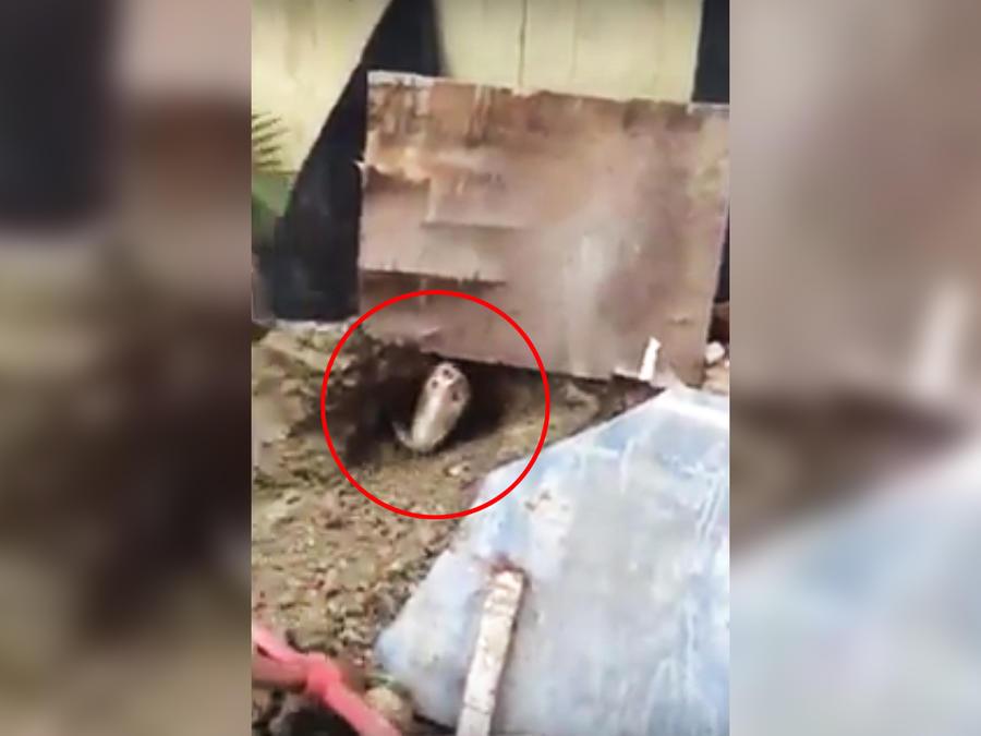Cobra saliendo de un agujero