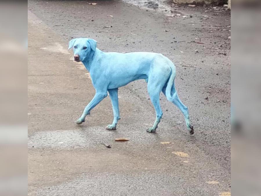 Perro azul en India