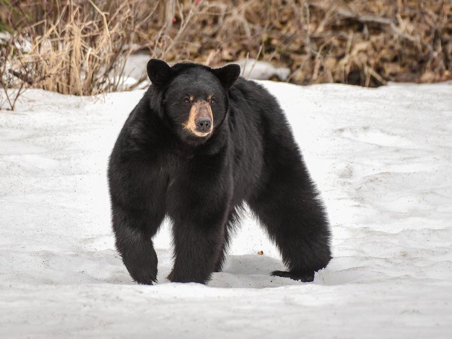 Ose negro caminando en la nieve