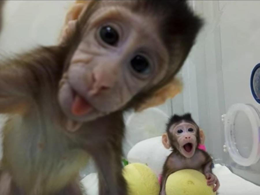 Clonación de monos