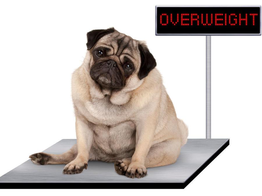 Perrito sobre balanza, con sobrepeso