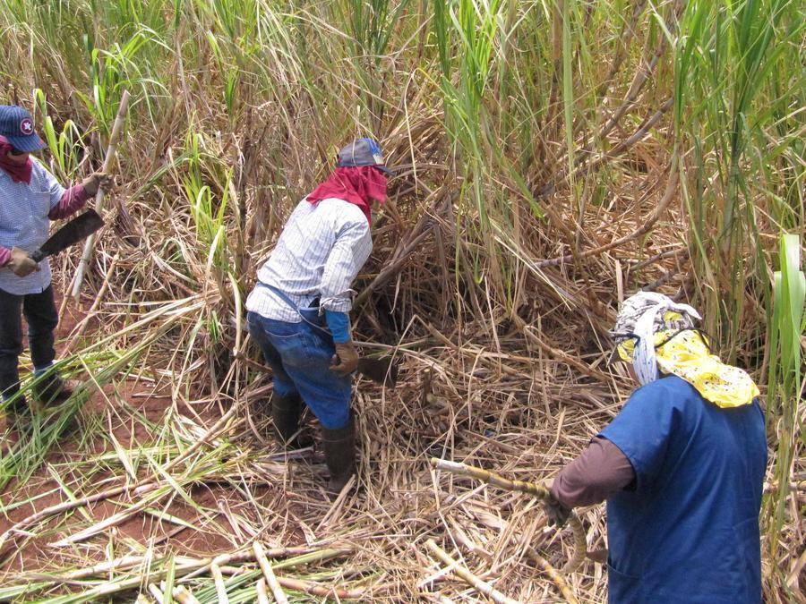 Inmigrantes trabajan en una plantación de caña de azúcar en Hawaii