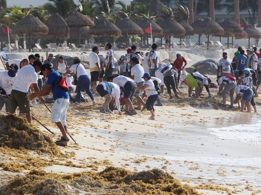 Personas limpian el alga sargazo de las playas de Cancún en una imagen de hoy