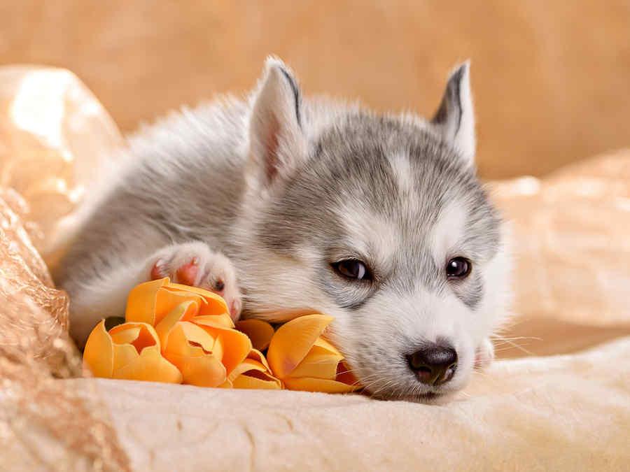 puppy cachorro husky perro