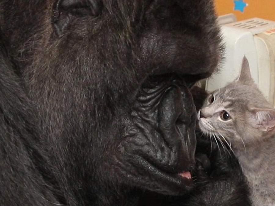 gorilla con gatito