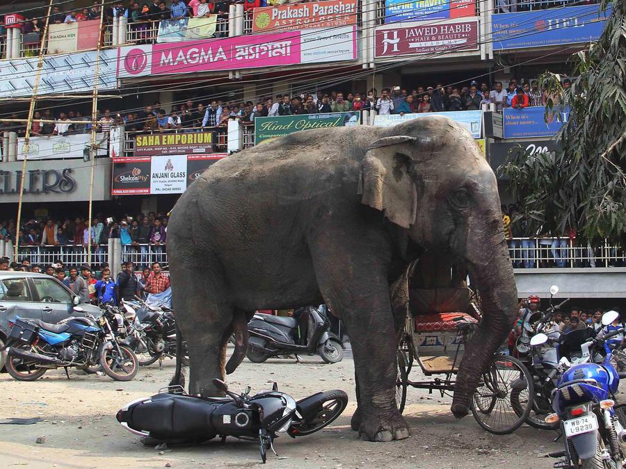 elefante salvaje en india