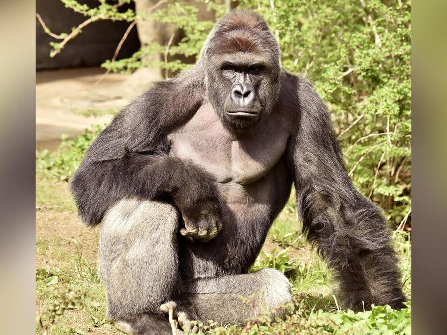 gorila sacrificado en ohio