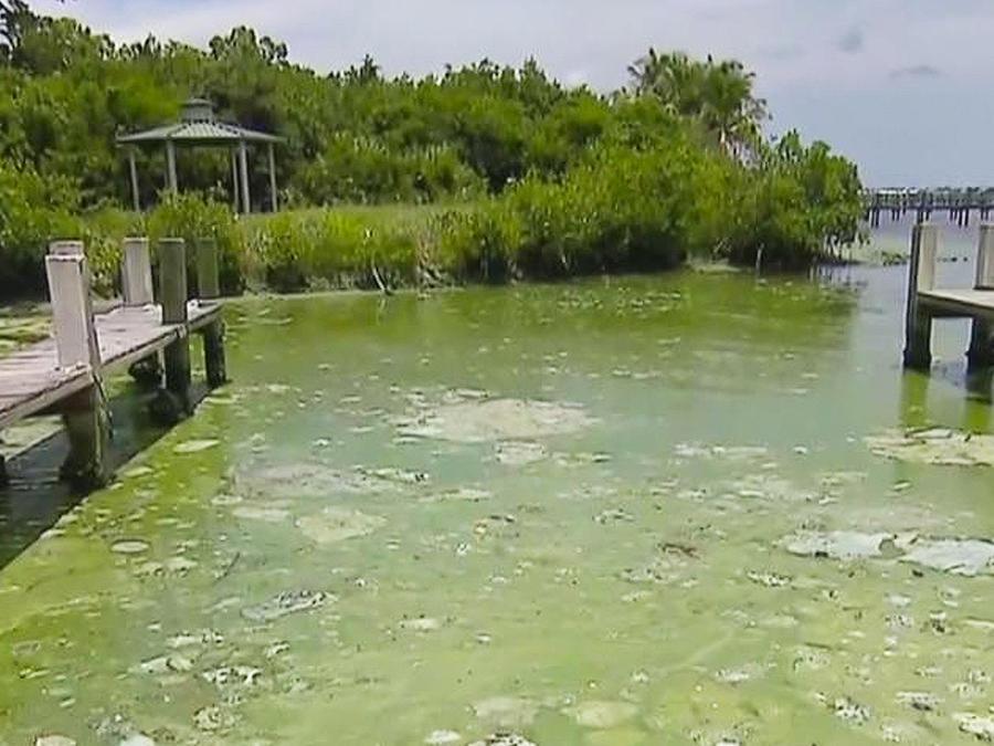 alga toxica