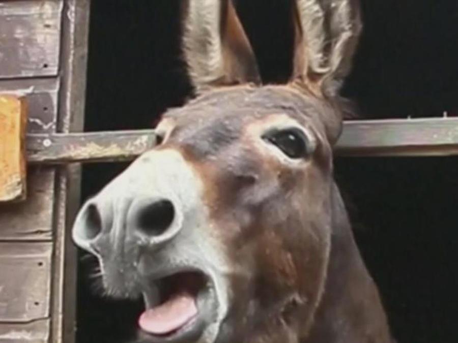 un burro