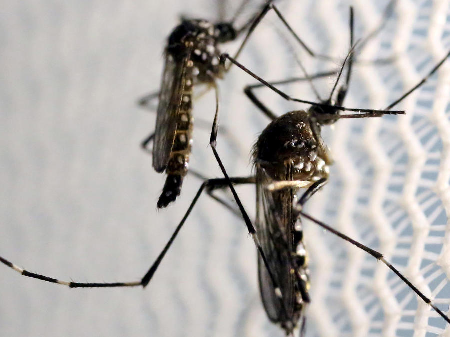 mosquito del zika