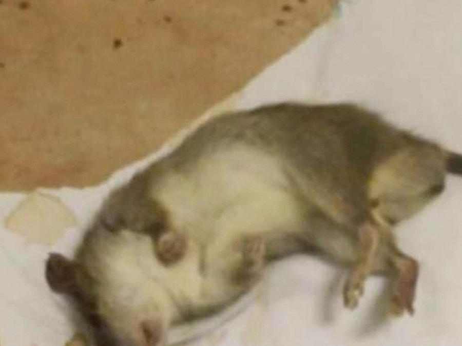 ratas invaden oficinas